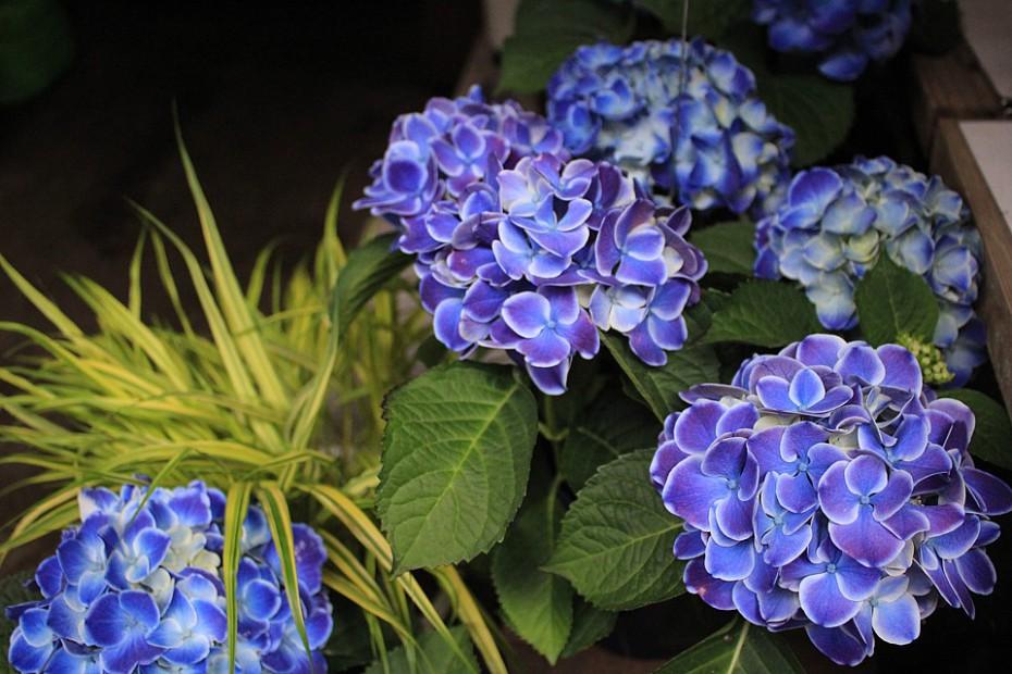 Modré hortenzie v uličce vedoucí ke svatyni Hačimangú
